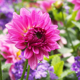 Rona Black - Pink Dahlia