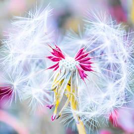 Parker Cunningham - Pink Dandelion #2