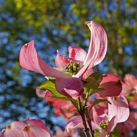 Baslee Troutman - Pink Dogwood Tree Flowers Art Prints