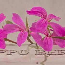 Sandra Foster - Pink Geranium Blossoms - Macro