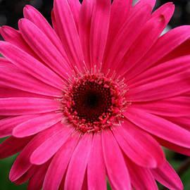 Kay Novy - Pink Gerbera