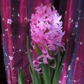 Elisabeth Ann - Pink Hyacinth