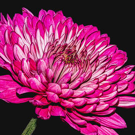 Jerri Moon Cantone - Pink