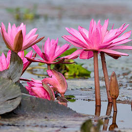Fotosas Photography - Pink Lotuses