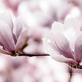 Elena Elisseeva - Pink Magnolia