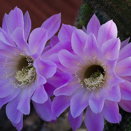 Saija  Lehtonen - Pink Night Blooming Cactus