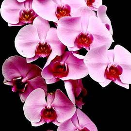Menachem Ganon - Pink Orchid