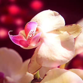 Lali Kacharava - Pink orchids in maroon light
