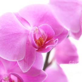 Jennifer Mecca - Pink Orchids