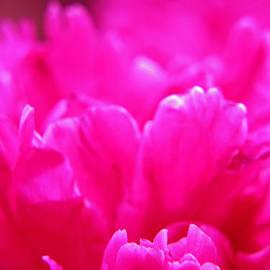 Lali Kacharava - Pink peony