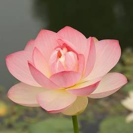 Sharin Gabl - Pink Perfection