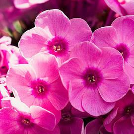 Alexander Senin - Pink Phloxes 1