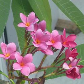 Lingfai Leung - Pink Plumeria