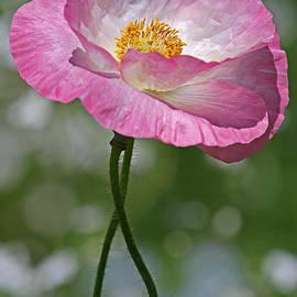Juergen Roth - Pink Poppy