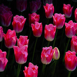 David Lunde - Pink Profusion