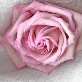 Sandra Foster - Pink Rose And Linen