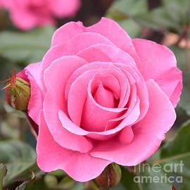 Carol Groenen - Pink Rose