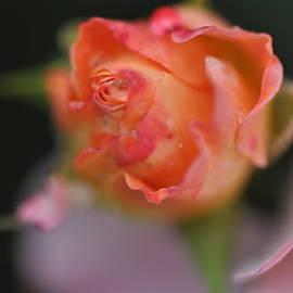 Gail Churinetz - Pink Rose