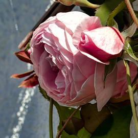 Leif Sohlman - Pink Rose In Half Profile.2014