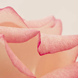 Sandra Foster - Pink Rose Petals Up Close