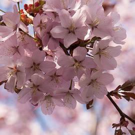 Georgia Mizuleva - Pink Spring - Gently Pink Cherry Blossoms