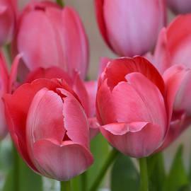 Julie Palencia - Pink Spring Tulips