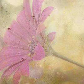 Sandra Foster - Pink Textured Gazania
