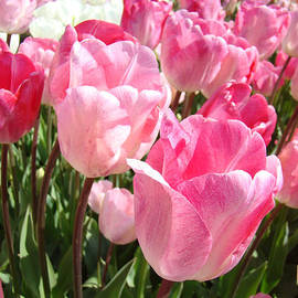 Baslee Troutman Floral Art Photography - Pink Tulip Flowers Garden Art Prints