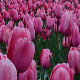 Don Schwartz - Pink Tulips