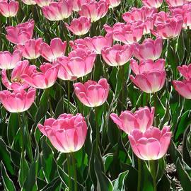 Marianne Beukema - Pink Tulips