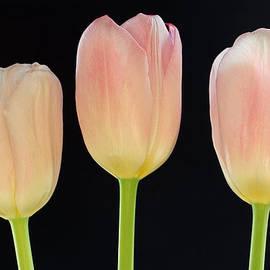 Juergen Roth - Pink Tulips Splendor