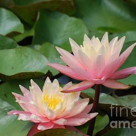 DejaVu Designs - Pink Water Lilies