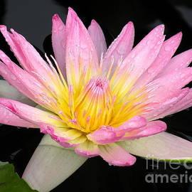 Kim Bemis - Pink Water Lily