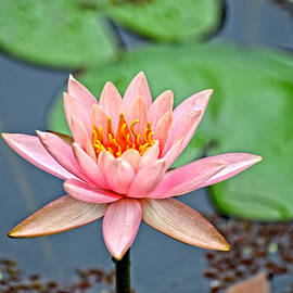 Marilyn Holkham - Pink Waterlily