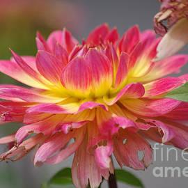 J M Lister - Pink-Yellow Dahlia Flower 03