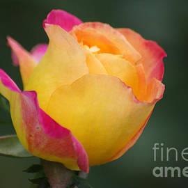 J M Lister - Pink Yellow Rose 06