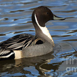 Bob Christopher - Pintail Drake 1