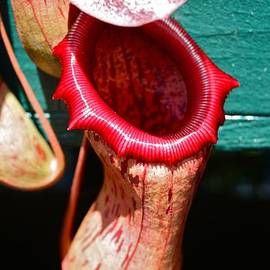 Venetia Featherstone-Witty - Pitcher Plant Nepenthes