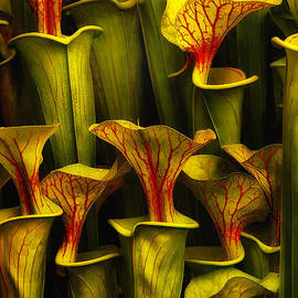 Mike Nellums - Pitcher Plants