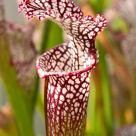Mike Savad - Plant - Pretty as a pitcher plant