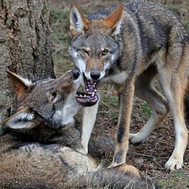 Athena Mckinzie - Playful Wolves