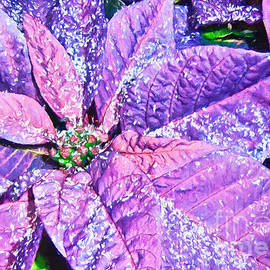 Darren Fisher - Poinsettia of Pink and Purple
