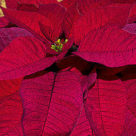 Michele  Avanti - Poinsettia The Christmas Flower