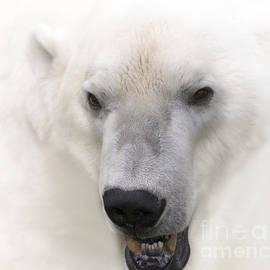 Heiko Koehrer-Wagner - Polar Bear Portrait