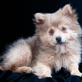 Constance Sanders - Pom Puppy Portrait
