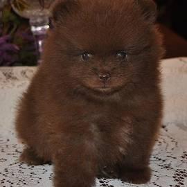 Evan Spicer - Pomeranian - Chocolate