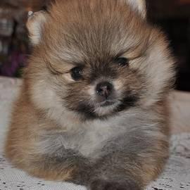 Evan Spicer - Pomeranian - Orange Sable
