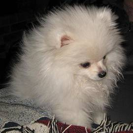 Evan Spicer - Pomeranian - White