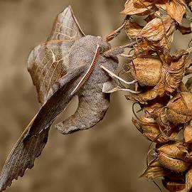 Mr Bennett Kent - Poplar Hawk moth