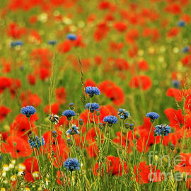 Elizabeth Debenham - Poppies and Cornflowers